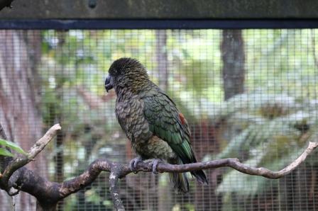 Maailma kõige intelligentsem lind Kea/ the most intelligent bird of the world, Kea